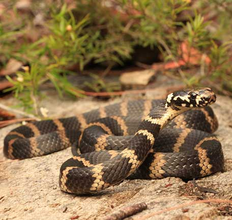 Queensland Snakes