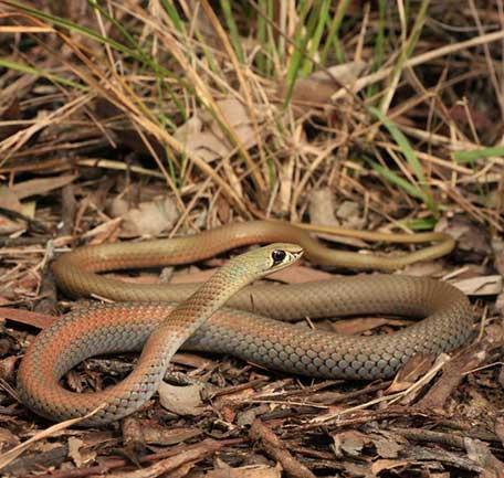 Gold Coast Snakes