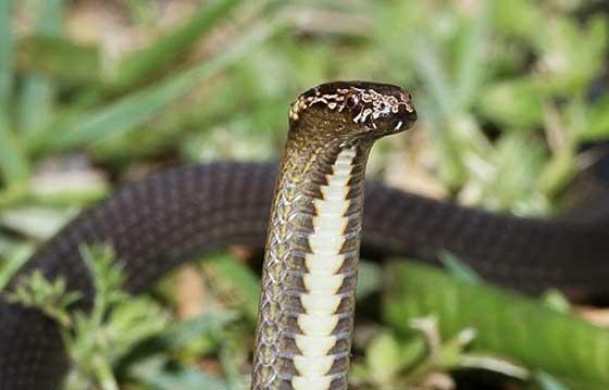 Carrara Snake Identification Services