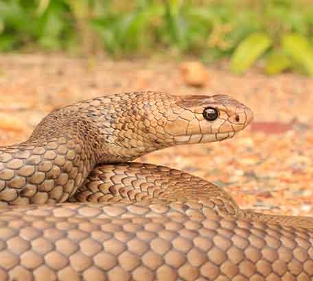 Pimpama Eastern Brown Snake