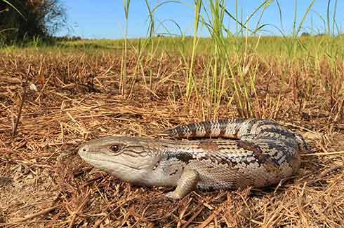 Oxenford Lizard Identification