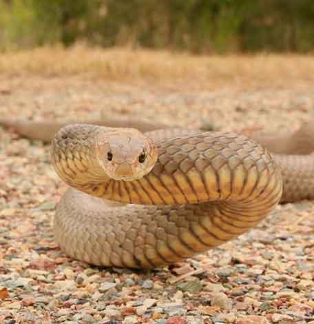 Eastern Brown Snake caught in Tallebudgera