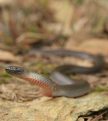 Snake Catcher Ashmore