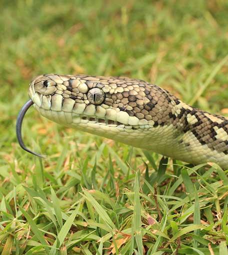 Snake Catcher Upper Coomera