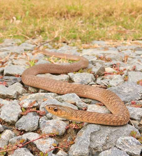 Merrimac Snake Catcher