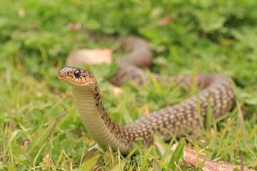Gold Coast Snake Identification