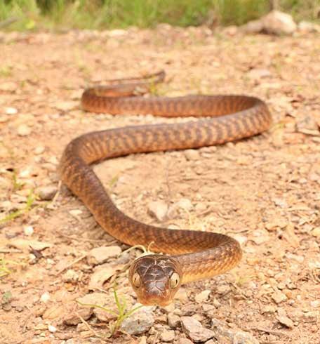 Snake Catcher Molendinar